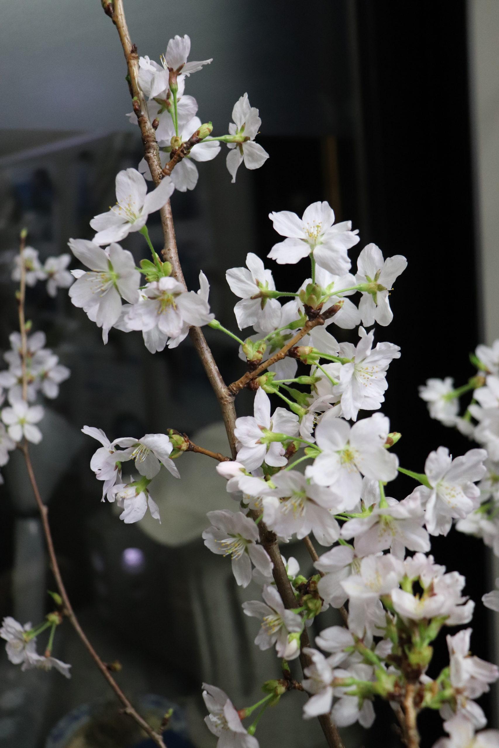 事務所 夜桜